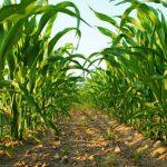 Landwirtschaft-Tipp: Richtig Düngen beim Mais-Anbau