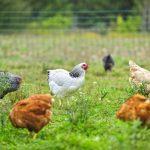 Zweinutzungshühner verhindern Kükentöten