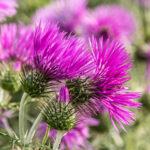 Disteln als Basis für ein natürliches Pestizid
